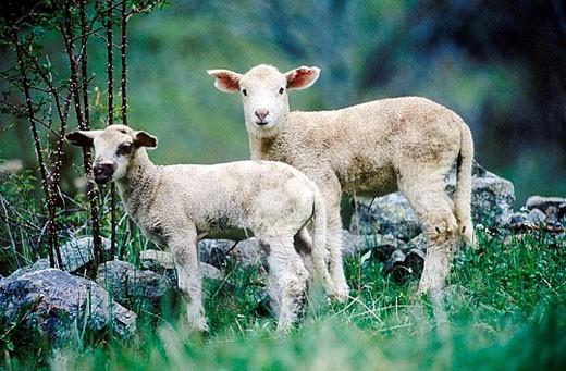 Stock Photo: 1566-360985 Sheep. Spain.