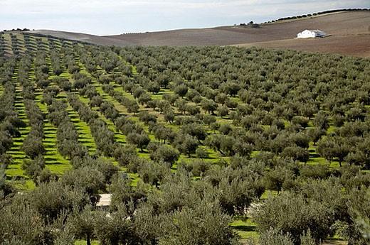 Olive trees around Baena. Córdoba province. Andalucia. Spain. : Stock Photo