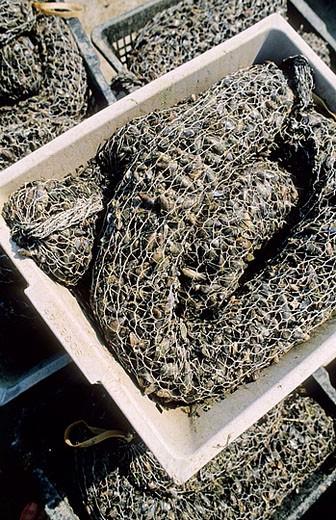 Mussels farming. Island of Noirmoutier. Atlantic coast. Vendée province. France. : Stock Photo