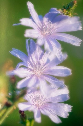 Tree Chicory Flowers. (Cichorium intybus). July 2006. Maryland, USA : Stock Photo