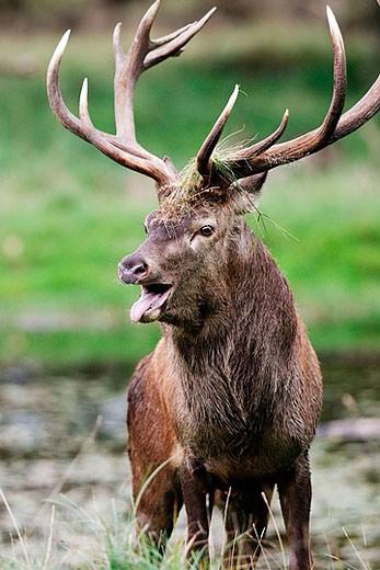 Male. Red Deer. Cervus elaphus. : Stock Photo