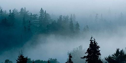 Shrouded pines. : Stock Photo