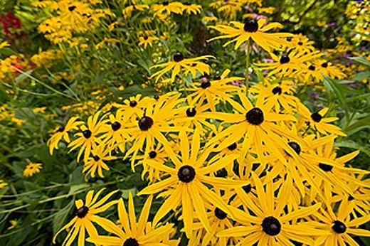 0507246 Black_eyed Susans [Rudbeckia laciniata]. Van Dusen, Vancouver, BC. : Stock Photo