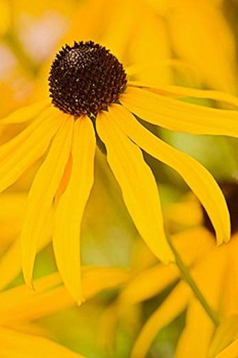0507272 Black_eyed Susan blossom extreme detail [Rudbeckia laciniata]. Van Dusen, Vancouver, BC. : Stock Photo