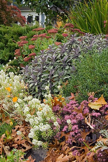 Stock Photo: 1566-365349 0508459 ´Autumn Joy´ Sedum, Salvia, Sweet Alyssum, autumn w/ fallen Pin Oak leaves [Sedum ´Autumn Joy´; Salvia officinalis´; Lobularia maritima]. McClendon, Bellingham, BC.