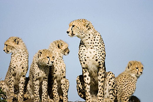 Stock Photo: 1566-365761 Cheetah family atop a termite mound in the Masai Mara