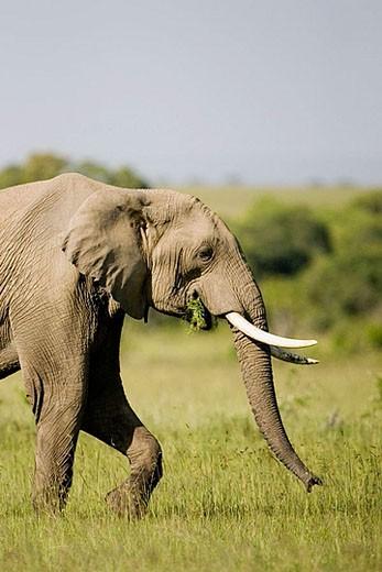 Elephant feeds in the Masai Mara : Stock Photo