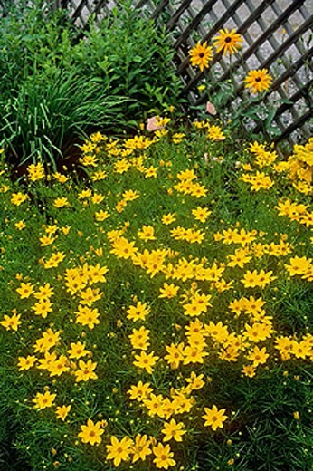 Stock Photo: 1566-366448 ´Golden Showers´ Coreopsis & Gloriosa Daisies in border by lattice fence [Coreopsis grandiflora 'Golden Showers'; Rudbeckia hirta]. Astolat, Jane Lew, WV.