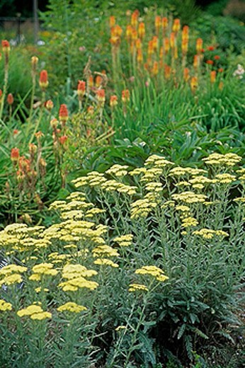 Achillea x ´Anthea´ w/ Red Hot Poker bkgnd [Achillea x 'Anthea'; Kniphofia uvaria]. Astolat, Jane Lew, WV. : Stock Photo