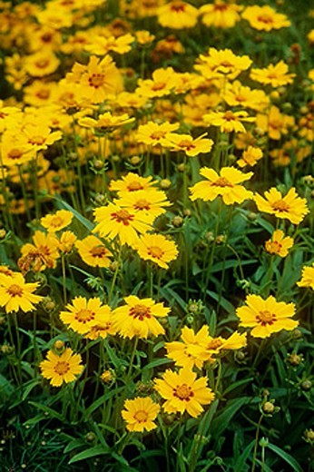 Coreopsis lanceolata 'Sterntaler' blossoms [Coreopsis lanceolata 'Sterntaler']. Astolat, Jane Lew, WV. : Stock Photo