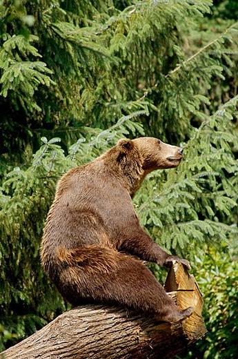 Brown Bear (Ursus arctos) : Stock Photo