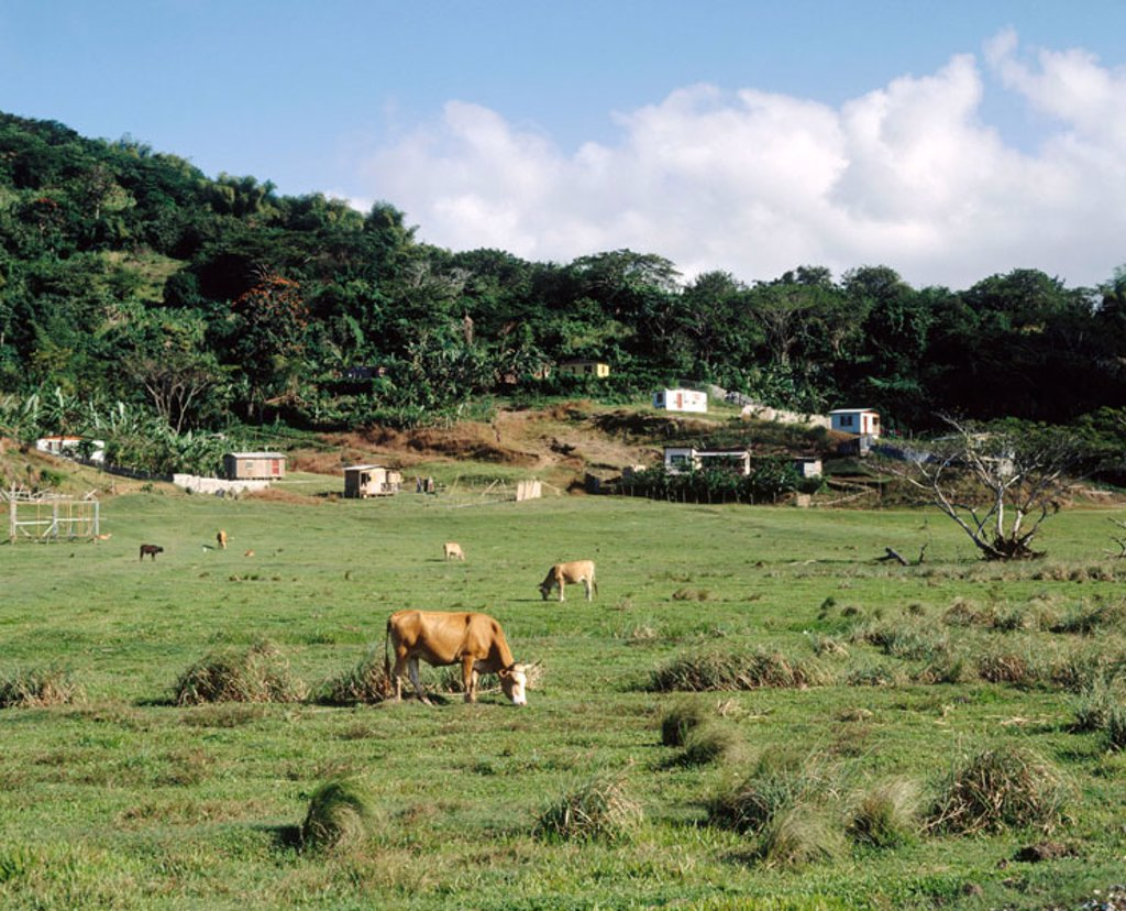 Stock Photo: 1566-367720 Cattle grazing (at Elgin, Hanover Parish). Jamaica