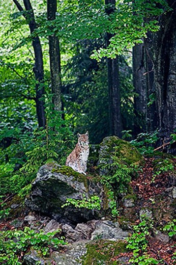 Stock Photo: 1566-368446 Lynx (Lynx Lynx). National Park Bavarian forest, Germany