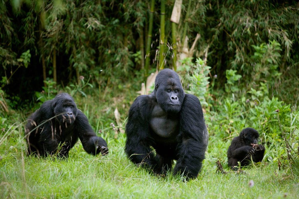 Stock Photo: 1566-368518 Mountain Gorilla (Gorilla gorilla berengei). Volcano National Park. Rwanda