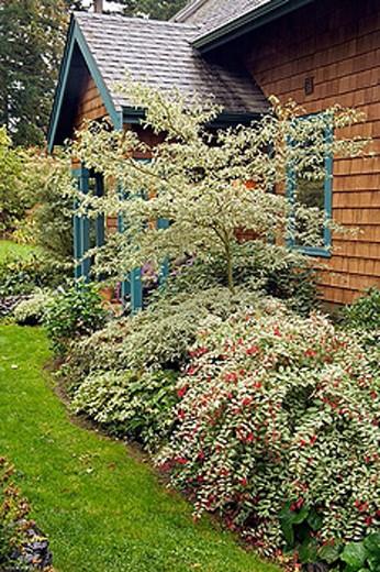 Stock Photo: 1566-368874 Perennials & shrubs frame front entrance to home (Cornus alternifolia ´Argentea´; Fuchsia magellanica cv.). Wall, Lummi Is., WA