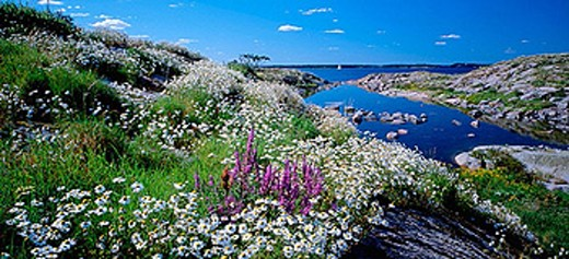 Flowers on Lekskären. Småland. Sweden : Stock Photo