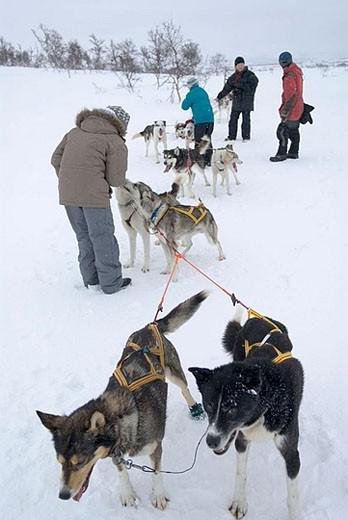 Sledge dogs in Storlien, Sweden. : Stock Photo