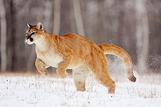 Mountain Lion (Felis concolor). Minnesota, USA : Stock Photo