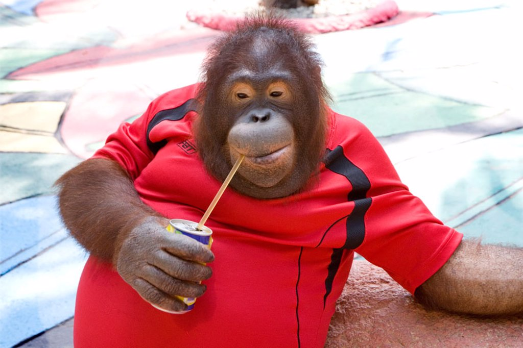 Stock Photo: 1566-370829 Orangutan in Thai  Zoo