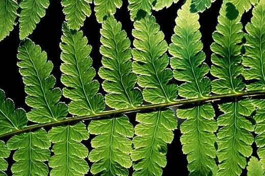 Stock Photo: 1566-371152 Fern. Laurisilva forest. La Gomera. Canary Islands. Spain