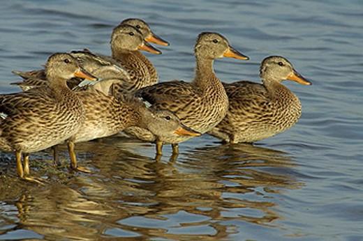 Stock Photo: 1566-371378 Gadwalls (Anas strepera). Ebro delta. Spain