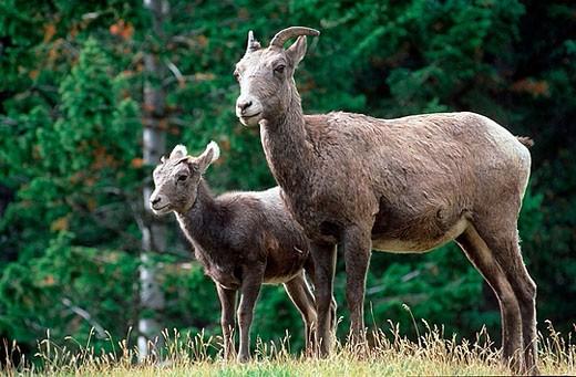 Stock Photo: 1566-371754 Bighorn Sheep (Ovis canadensis). Rocky Mountains, Jasper national park, Alberta, Canada