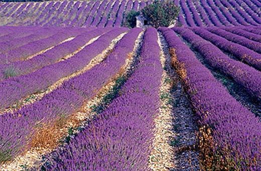 Lavender field, Plateau de Vaucluse, Sault, Provence, France. : Stock Photo