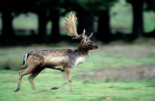 Fallow Deer (Dama dama). UK. Male running. Central Europe. Iberia.  British Isles. Southern Sweden. Introduced elsewhere. Form leks for breeding in UK. Deciduous and mixed woodland : Stock Photo