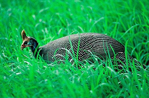 Helmeted guineafowl (Numida meleagris). Ngorongoro crater. Tanzania. East Africa. : Stock Photo