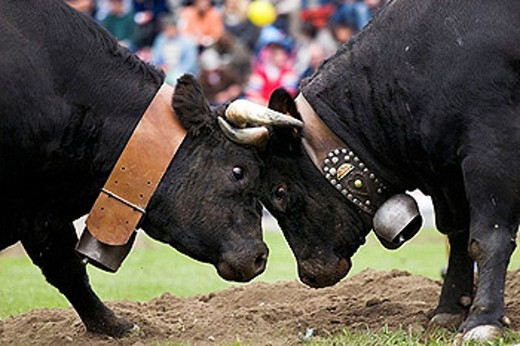 Two cows fighting during ´Bataille de Reines´ (Battle of queens) in La Croix Noire stadium. Aosta. Italy. : Stock Photo