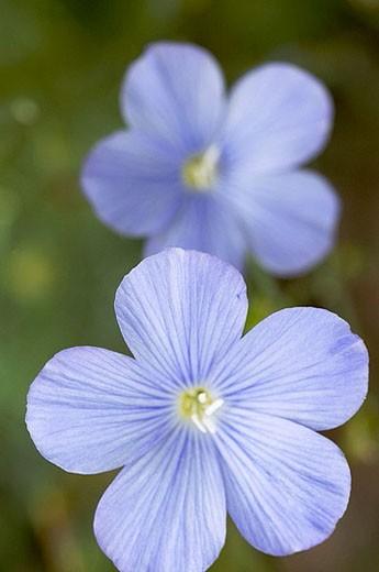 Stock Photo: 1566-372598 Forget Me Not (Myosotis alpestris). Denver Botanical Gardens, Colorado. USA