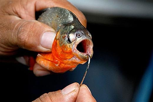 Piranha. Amazonas. Brazil. : Stock Photo