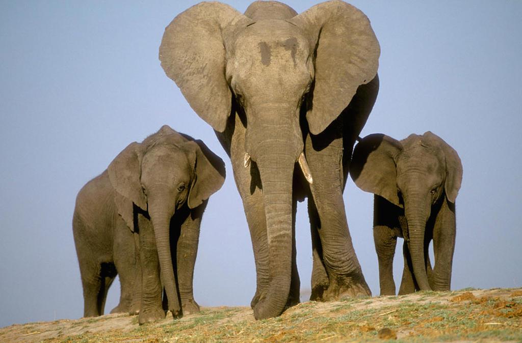 Elephant. Chobe N.P. African Elephant (Loxodonta africana). Bostwana : Stock Photo