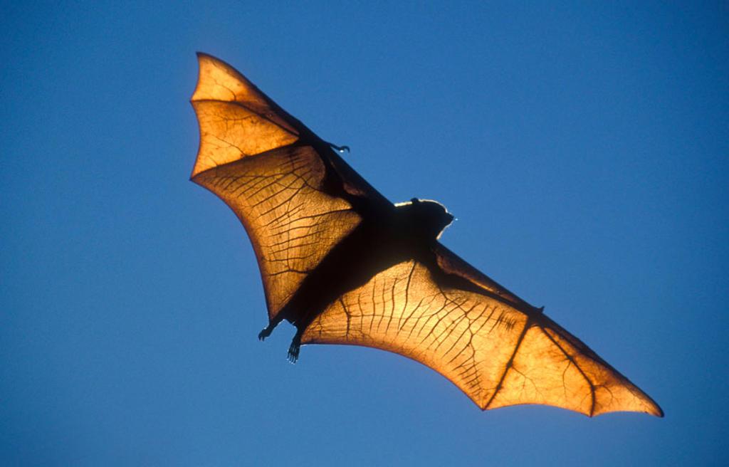 Rufus Bat Fox. Pteropus rufus. Madagascar : Stock Photo