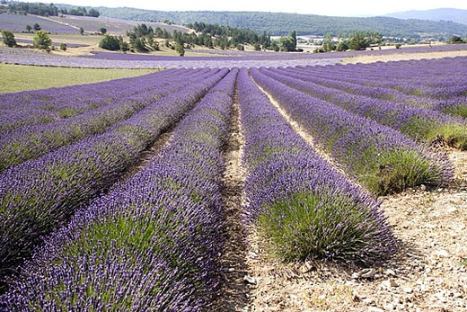 Blooming Lavender Field (Lavandula latifolia-lavandula angustifolia) : Stock Photo