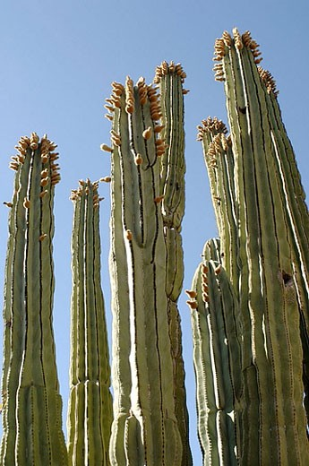 Cactus. Sonoran Desert. Arizona, USA. : Stock Photo