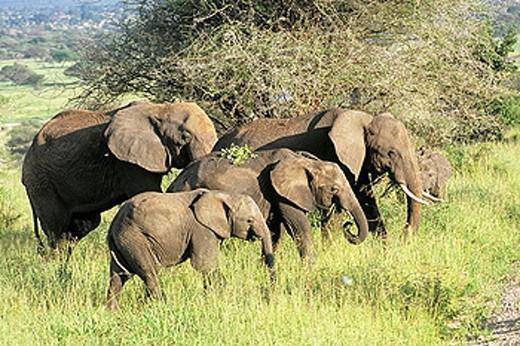Stock Photo: 1566-374431 Elephants (Loxodonta africana). Tarangire National Park, Tanzania.
