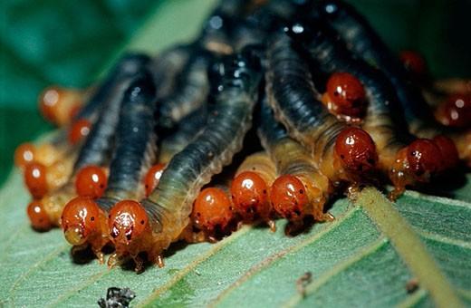 Stock Photo: 1566-375192 Aggregation of Larva of Haplostegus sp., pergid sawflies, Symphyta: Pergidae,  Viçosa. Minas Gerais, Brazil