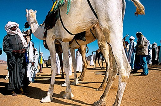 Stock Photo: 1566-375282 Camels race during the yearly tuareg  festival ´sebiba´. Djanet oasis. Tassili n´Ajjer. Sahara. Algeria