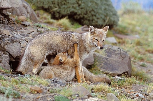 Stock Photo: 1566-378666 Argentine grey fox (Disicyon griseus) mother and pups