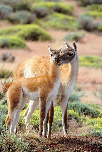 Guanaco (Lama guanicoe) with calf, South America, Chile, Patagonia Torres del Paine National Park : Stock Photo