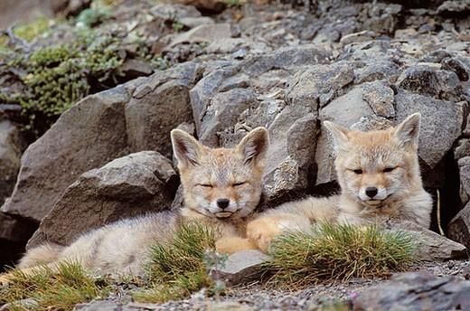 Argentine grey fox (Disicyon griseus) pups : Stock Photo
