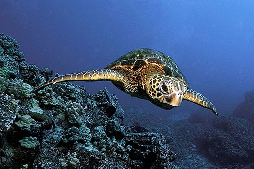 Stock Photo: 1566-379582 Green sea turtle (Chelonia mydas), Kailua-Kona,  Hawaii, (Pacific)