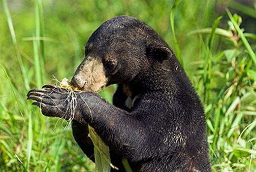 Sun Bear (Helarctos malayanus), standing and feeding on mais, Borneo, Kalimantan, Indonesia : Stock Photo