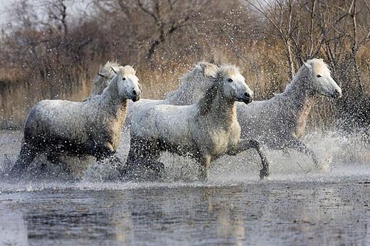 Camargue horses. Saintes-Maries-de-la-Mer. Camargue, Bouches du Rhone. France. : Stock Photo
