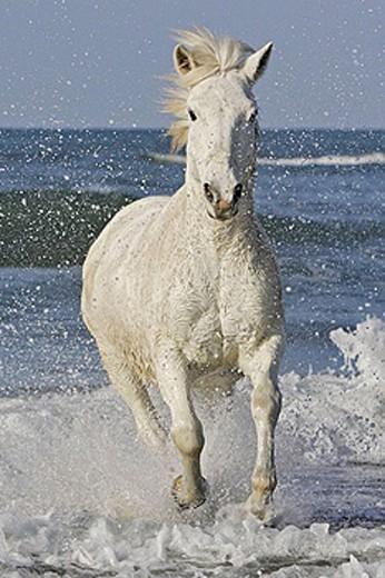 Stock Photo: 1566-379879 Camargue horse. Saintes-Maries-de-la-Mer. Camargue, Bouches du Rhone. France.