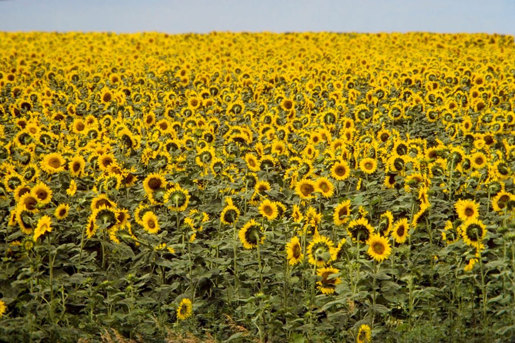 Stock Photo: 1566-379895 Field of yellow sunflowers in Kansas (USA)