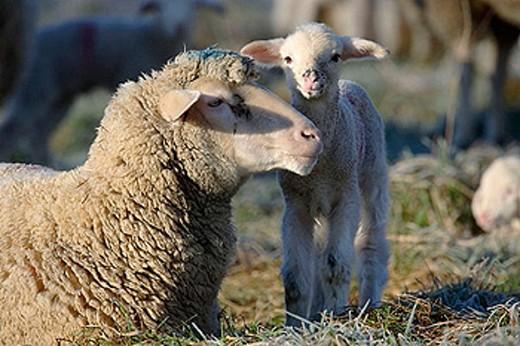 Merino Sheep, lamb, Germany. : Stock Photo