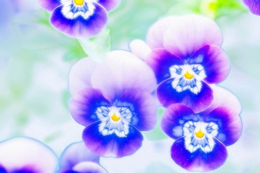 Blue Pansies. Viola x wittrockiana. May 2006, Maryland, USA : Stock Photo