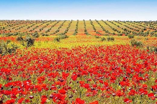 Poppy field. Sevilla province, Andalucia, Spain : Stock Photo